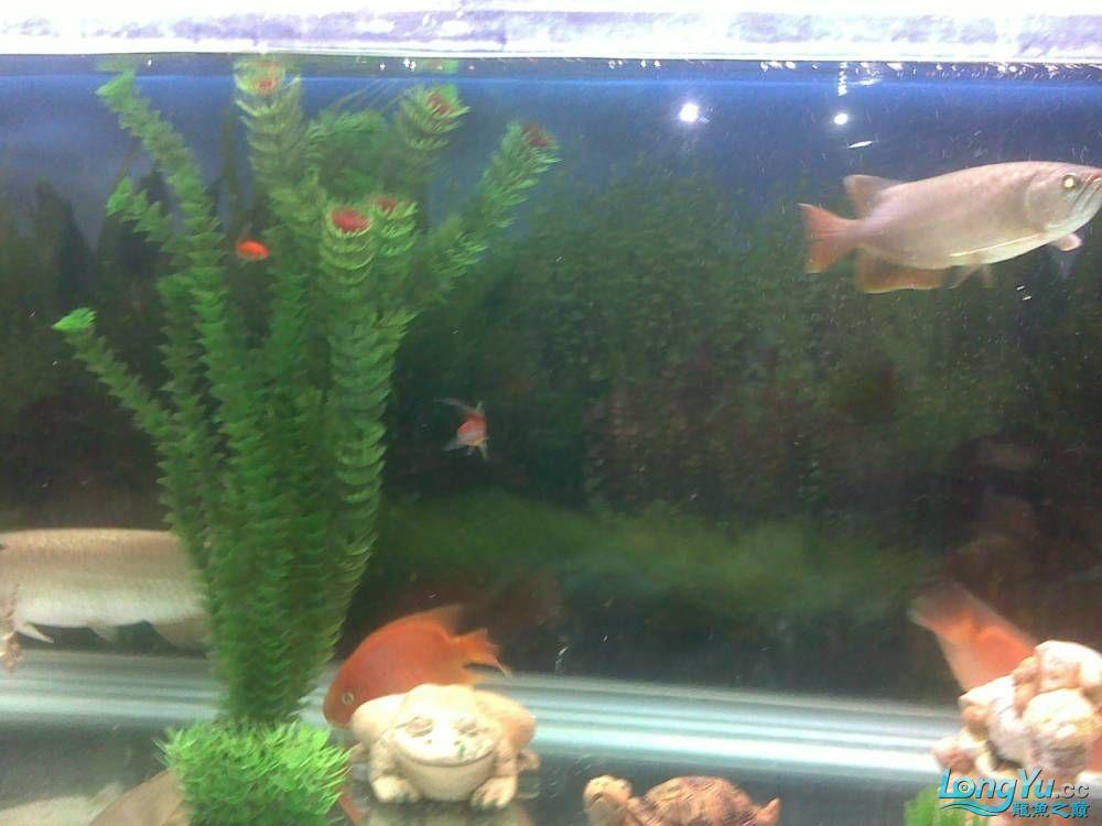 小学混养珍珠号半 西安观赏鱼信息 西安博特第25张
