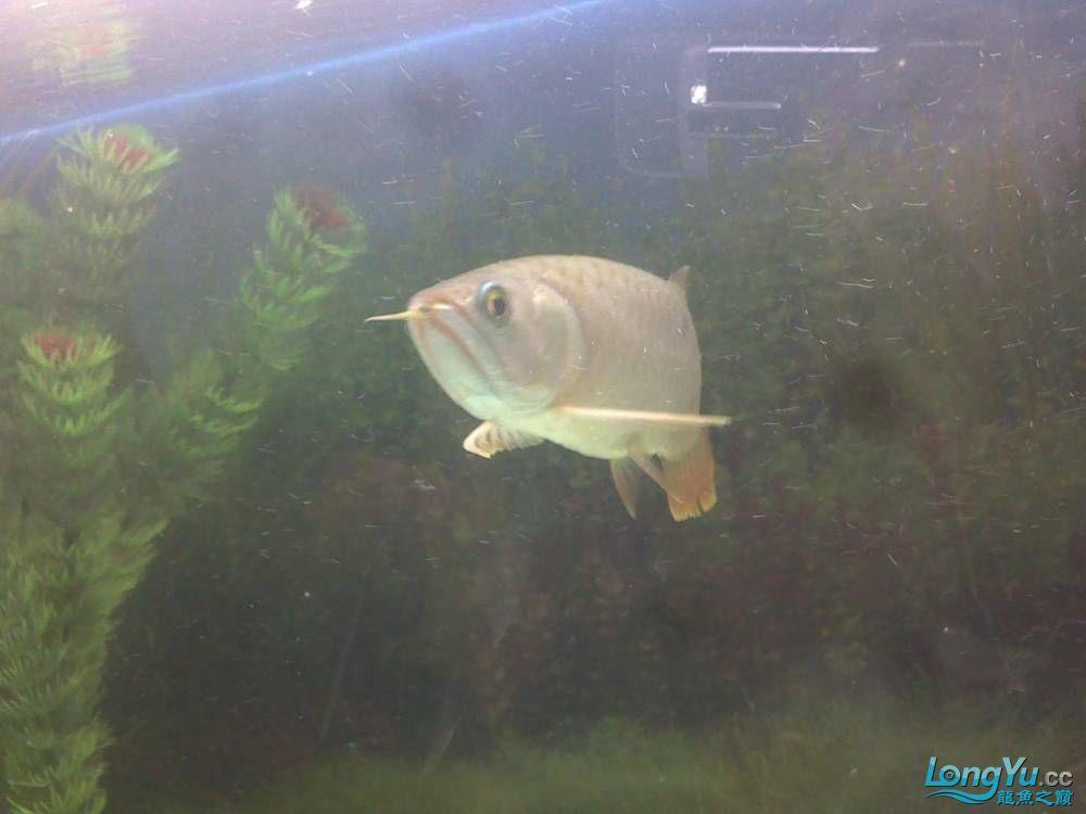 小学混养珍珠号半 西安观赏鱼信息 西安博特第27张