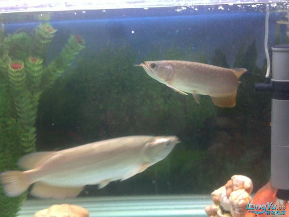 小学混养珍珠号半 西安观赏鱼信息 西安博特第26张