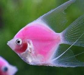 这鱼是什么品种【西安哪个水族店有帝王三间鼠鱼】 西安观赏鱼信息 西安博特第1张