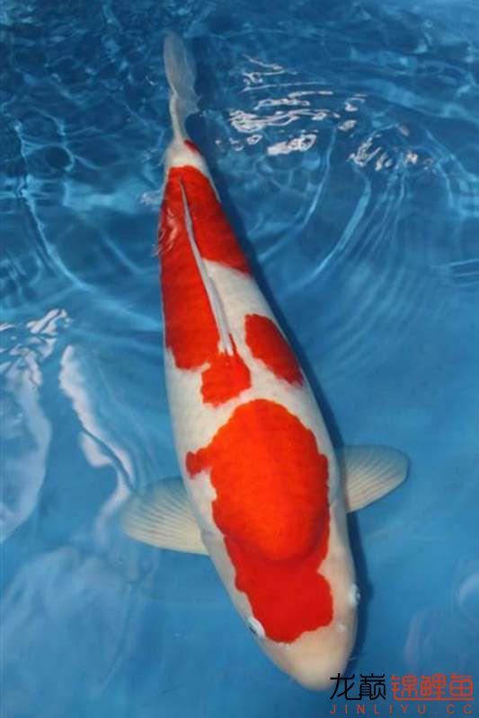 让人垂帘三尺的红白 西安龙鱼论坛 西安博特第1张