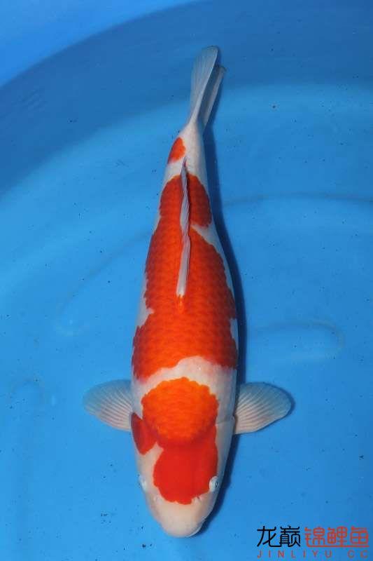 让人垂帘三尺的红白 西安龙鱼论坛 西安博特第4张