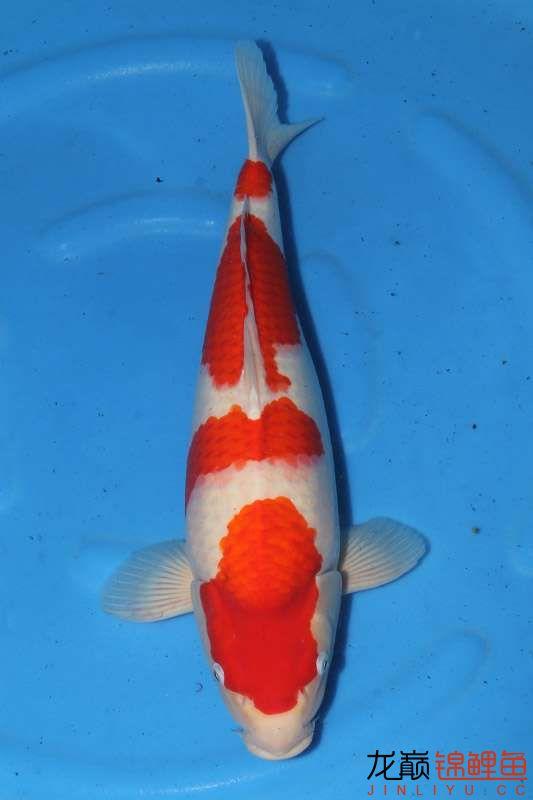 让人垂帘三尺的红白 西安龙鱼论坛 西安博特第5张