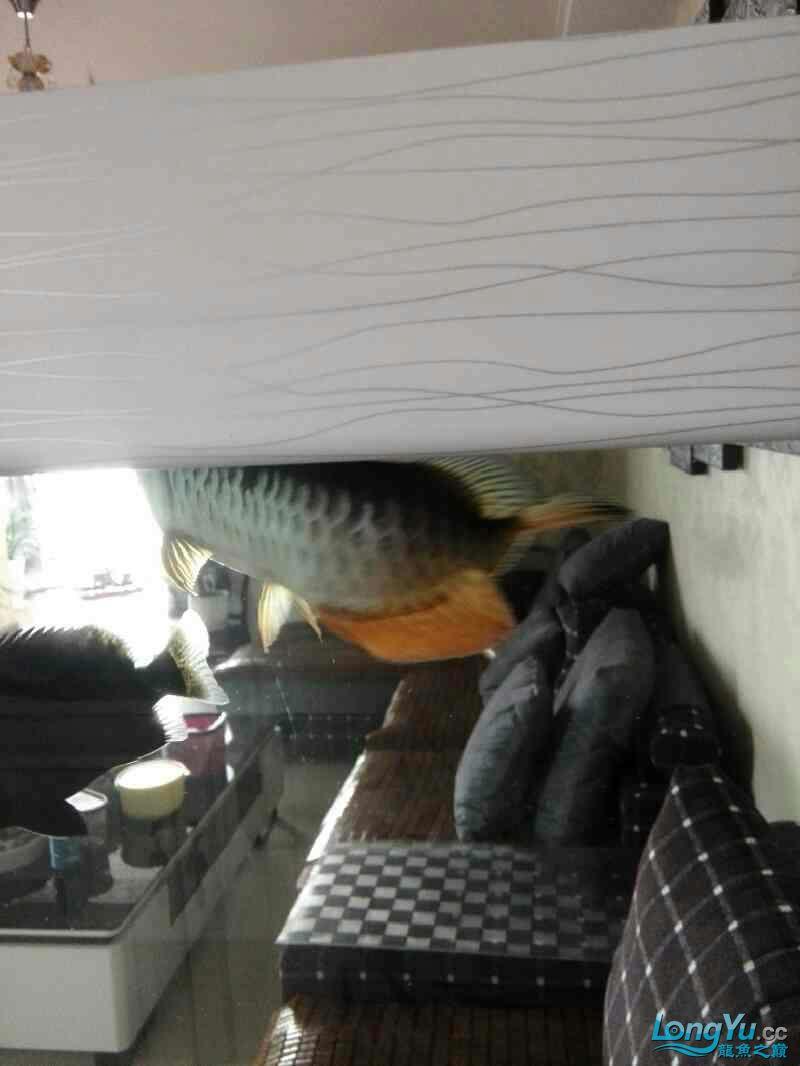 拒食 西安观赏鱼信息 西安博特第1张