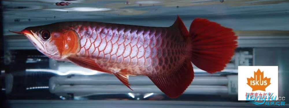 面对28公分的花鳞小血 西安观赏鱼信息 西安博特第1张