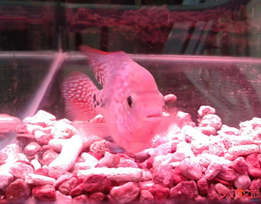 更新默明加强版小幻彩(78cm) 西安观赏鱼信息 西安博特第2张