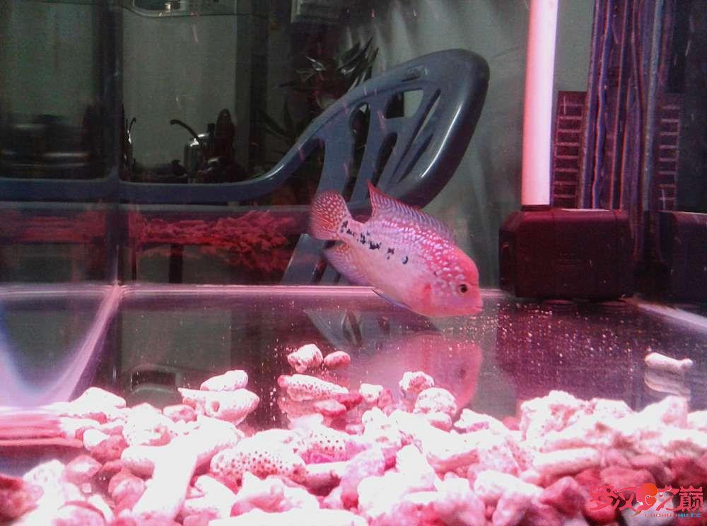 更新默明加强版小幻彩(78cm) 西安观赏鱼信息 西安博特第8张