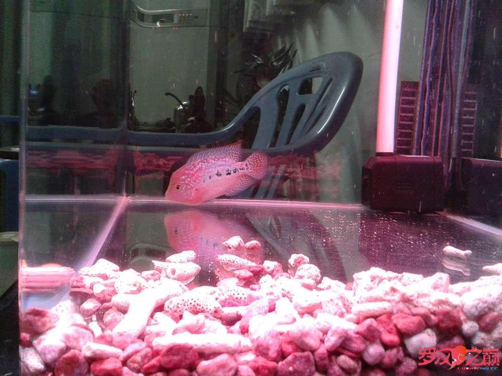 更新默明加强版小幻彩(78cm) 西安观赏鱼信息 西安博特第7张