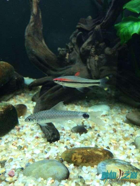 这是什么鱼能和神仙混养吗 西安观赏鱼信息 西安博特第2张