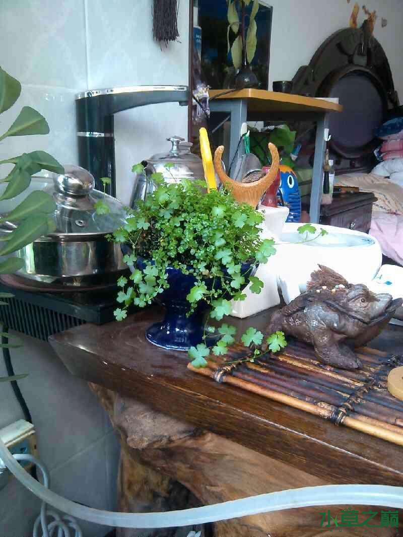 茶海上的水草团子 西安观赏鱼信息 西安博特第2张