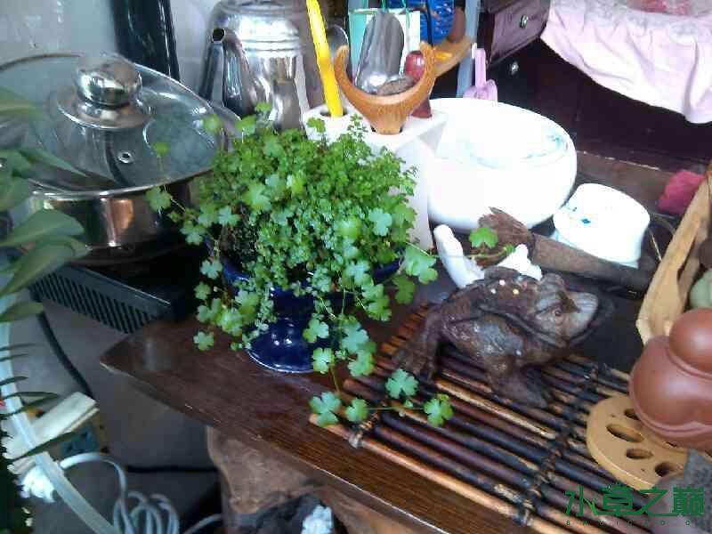 茶海上的水草团子 西安观赏鱼信息 西安博特第3张