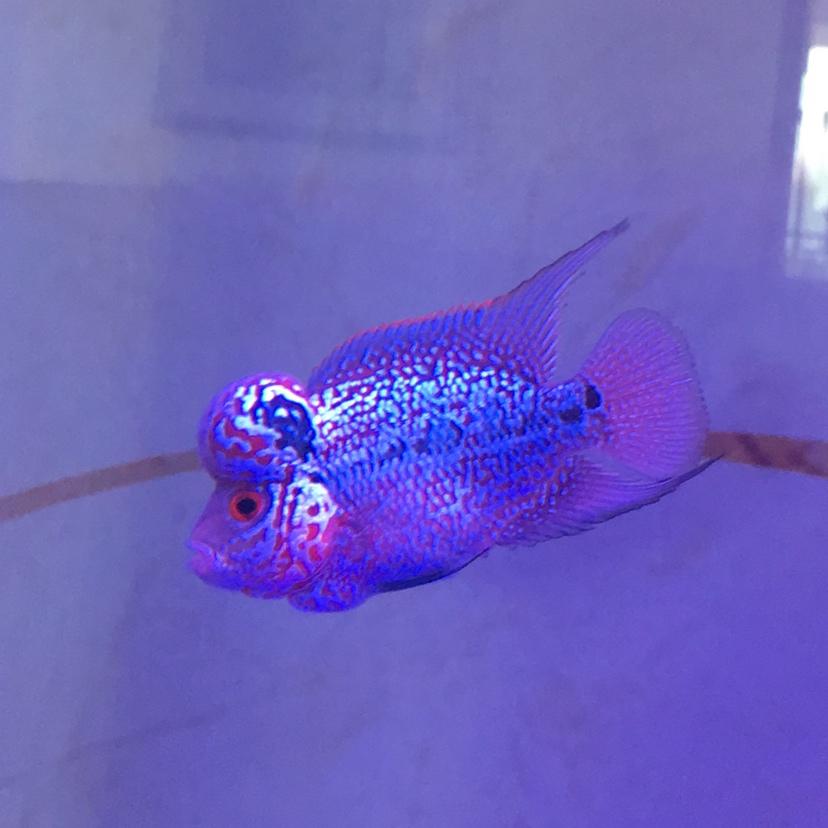 这个算重金属马骝吗? 西安观赏鱼信息 西安博特第1张