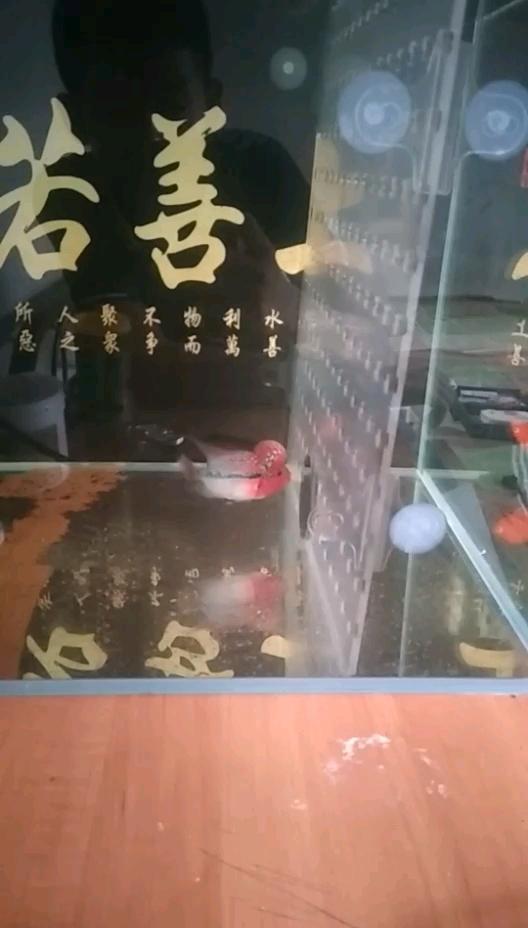 镜子罗汉鱼 西安龙鱼论坛 西安博特第1张