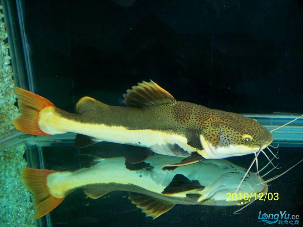 78CM的大狗仔 西安观赏鱼信息 西安博特第1张