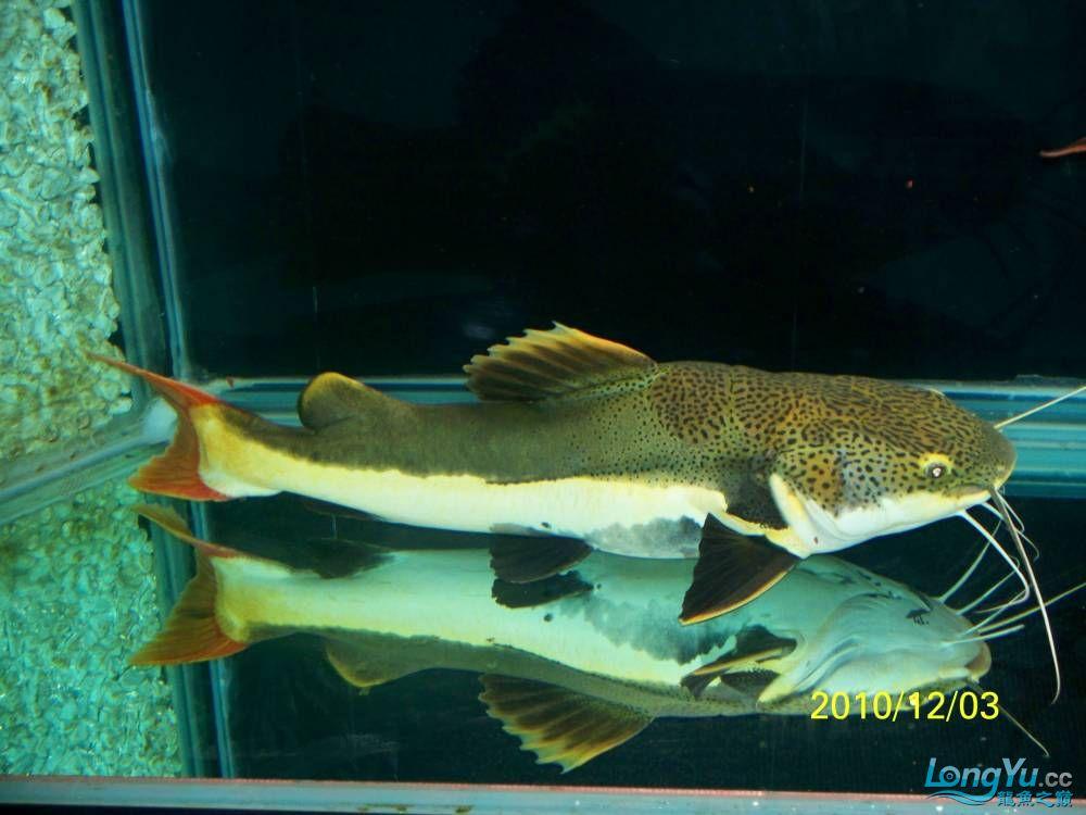 78CM的大狗仔 西安观赏鱼信息 西安博特第2张