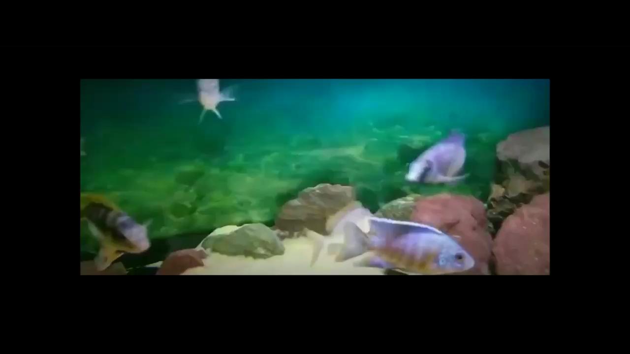 荧光蓝最近杠上了蓝纹魔鬼 西安观赏鱼信息