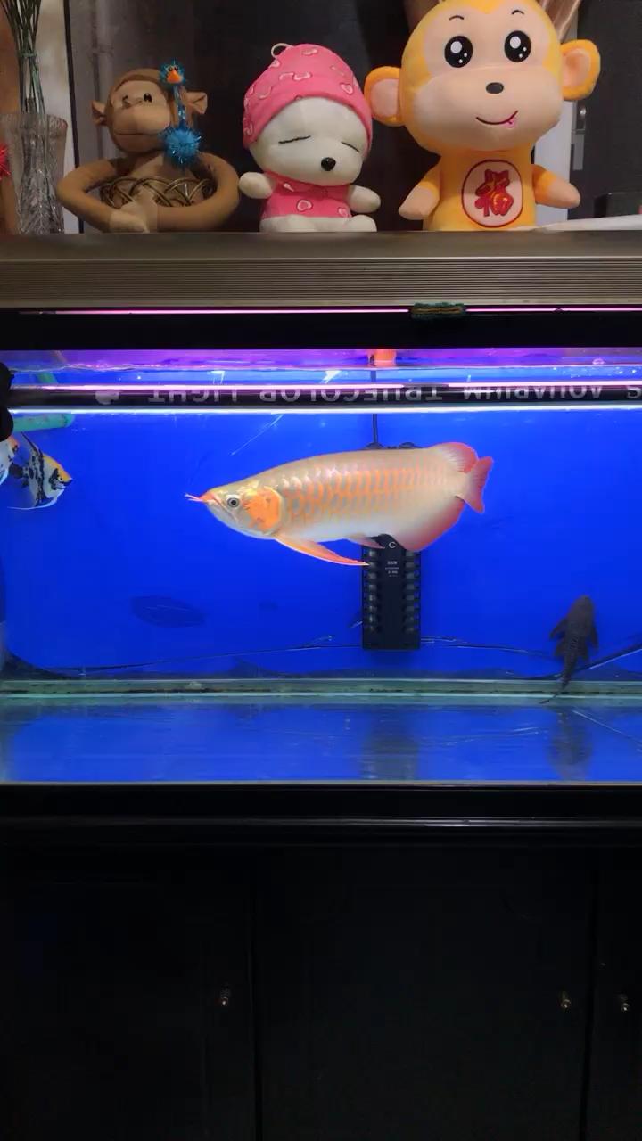 底色干净龙鱼 西安观赏鱼信息
