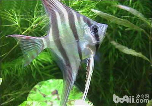 济南南部又一力作3米龙缸 西安观赏鱼信息 西安博特第11张