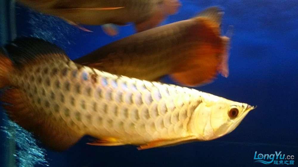 【西安印尼虎鱼】宝贝要当大明星我的一只潜力股 西安龙鱼论坛 西安博特第2张