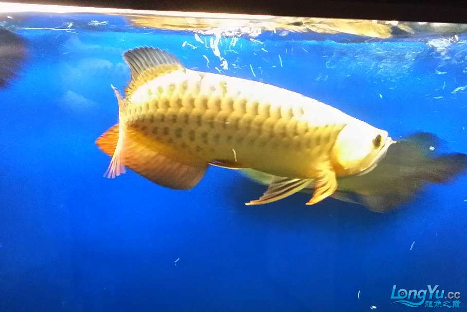 【西安印尼虎鱼】宝贝要当大明星我的一只潜力股 西安龙鱼论坛 西安博特第3张