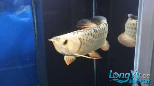 【西安印尼虎鱼】宝贝要当大明星我的一只潜力股 西安龙鱼论坛 西安博特第4张