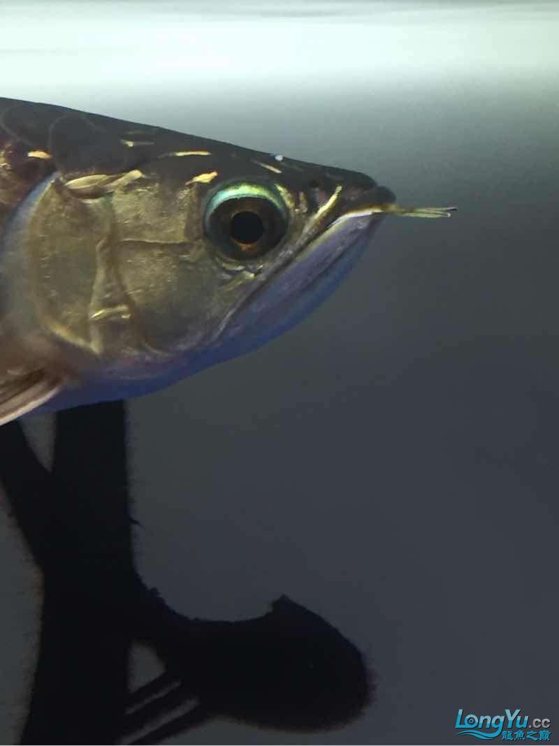 请大神们看看我这鱼头上怎么回事? 西安观赏鱼信息 西安博特第1张