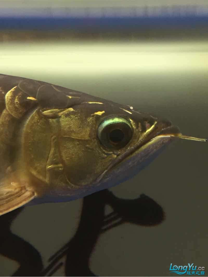 请大神们看看我这鱼头上怎么回事? 西安观赏鱼信息 西安博特第2张