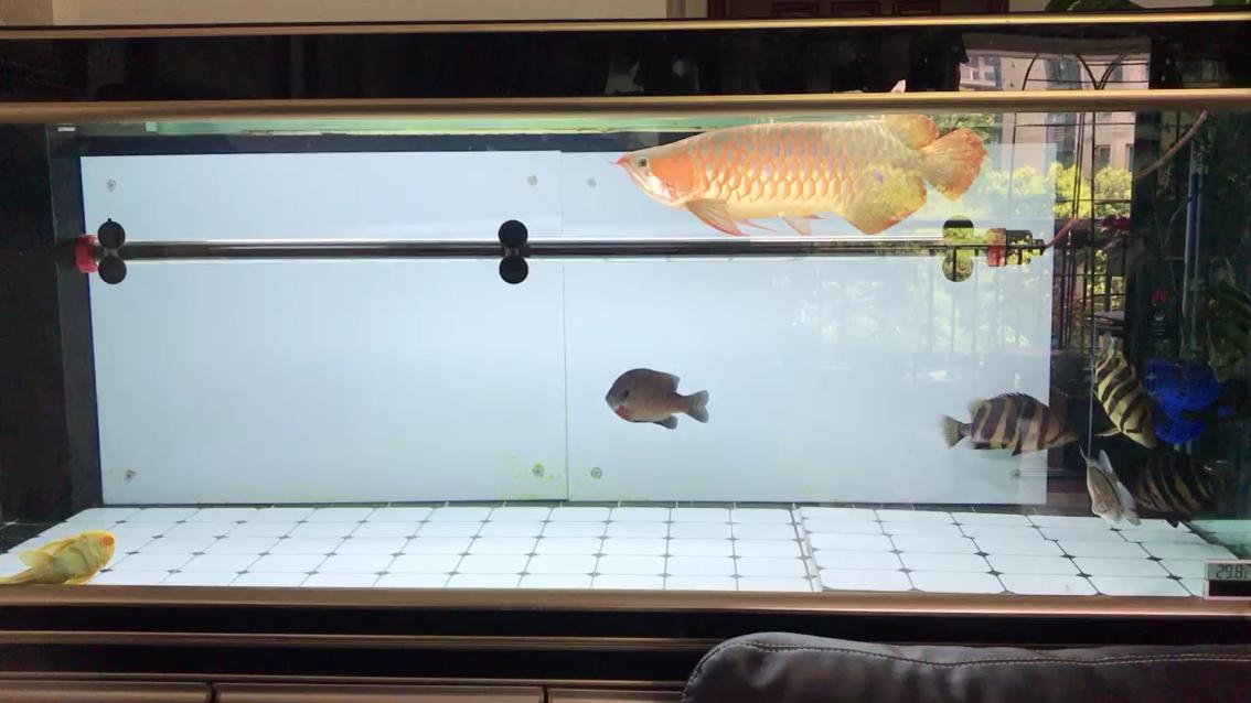 白底白背景的红龙果然退成大黄龙 西安观赏鱼信息 西安博特第1张