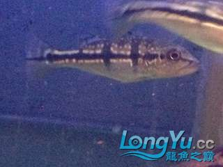 大家看看是哪种三间五厘米长出点了 西安龙鱼论坛 西安博特第1张