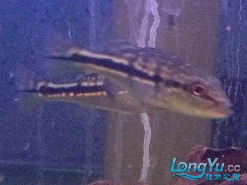 大家看看是哪种三间五厘米长出点了 西安龙鱼论坛 西安博特第3张