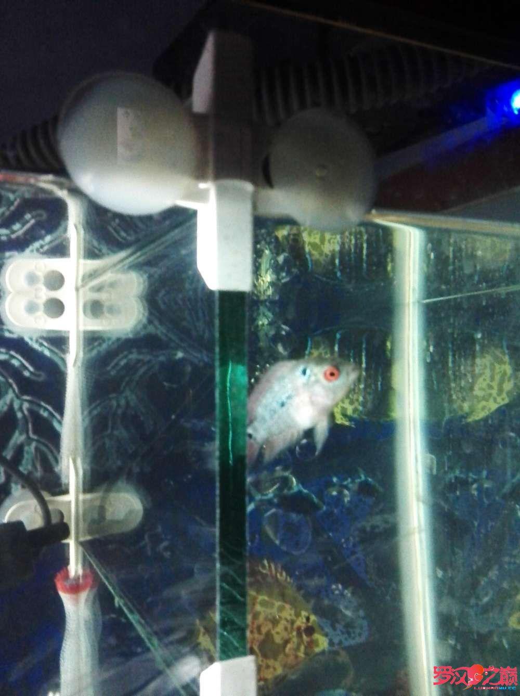 高手给看一下苗前途怎样 西安观赏鱼信息 西安博特第2张