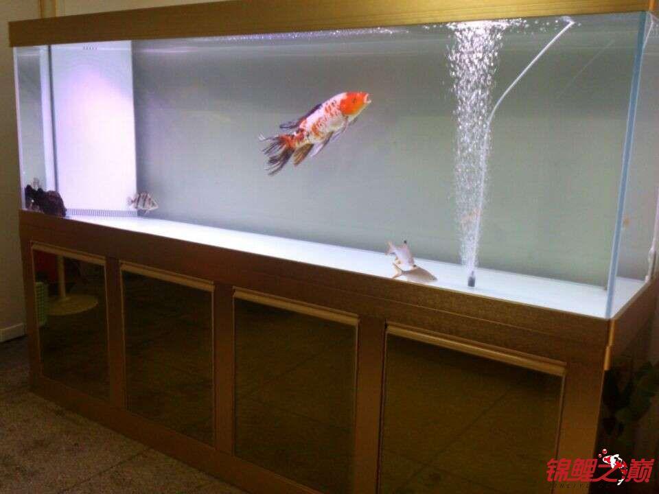 新手问鲤鱼品种 西安观赏鱼信息 西安博特第1张