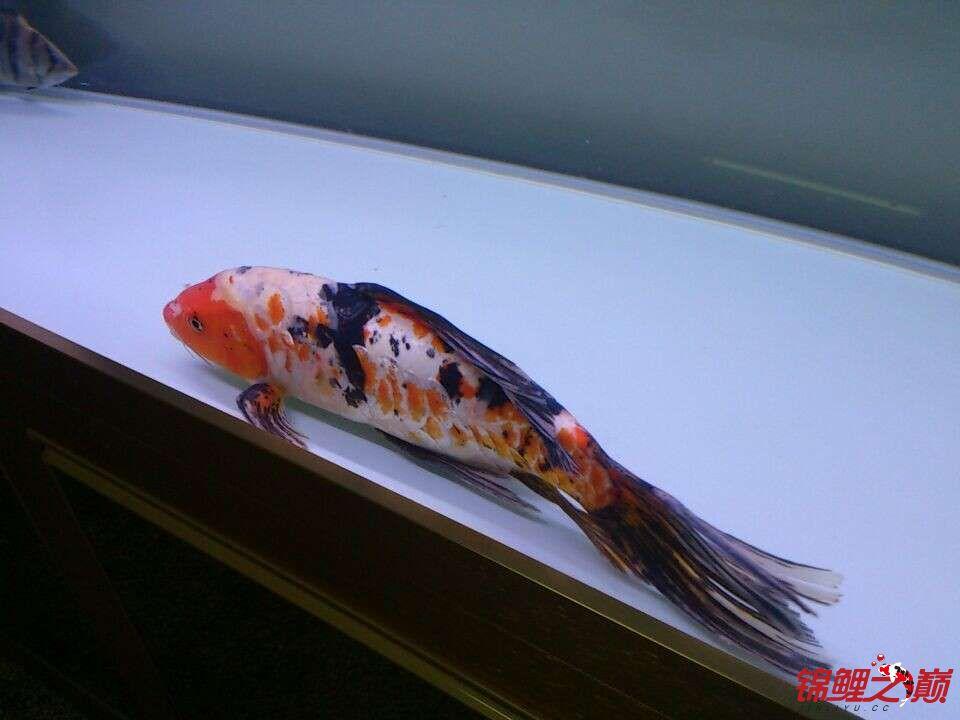 新手问鲤鱼品种 西安观赏鱼信息 西安博特第2张