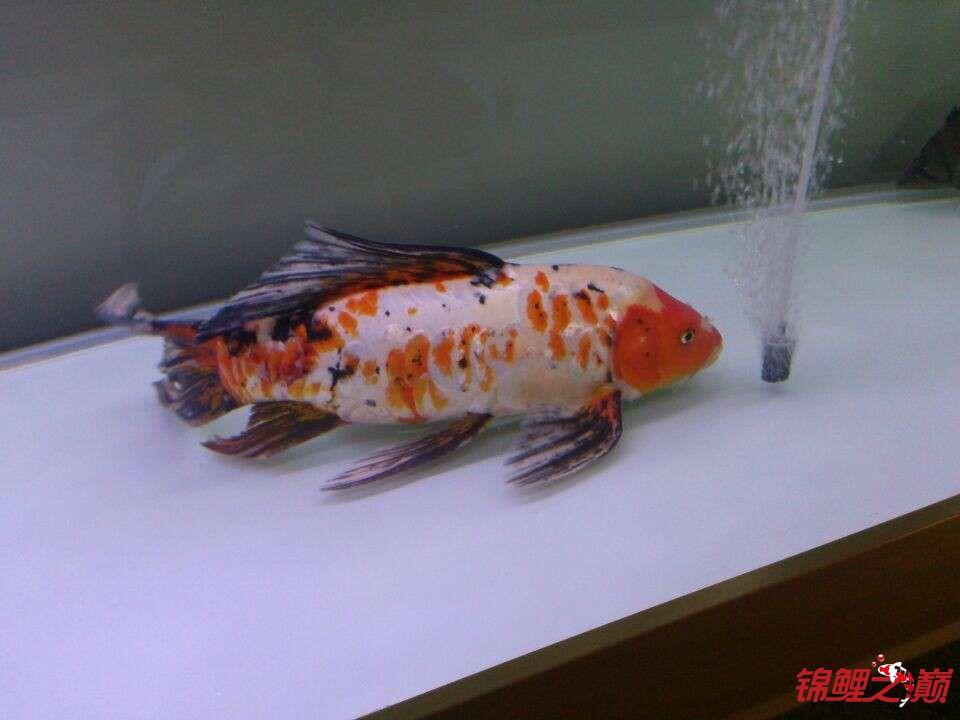新手问鲤鱼品种 西安观赏鱼信息 西安博特第4张