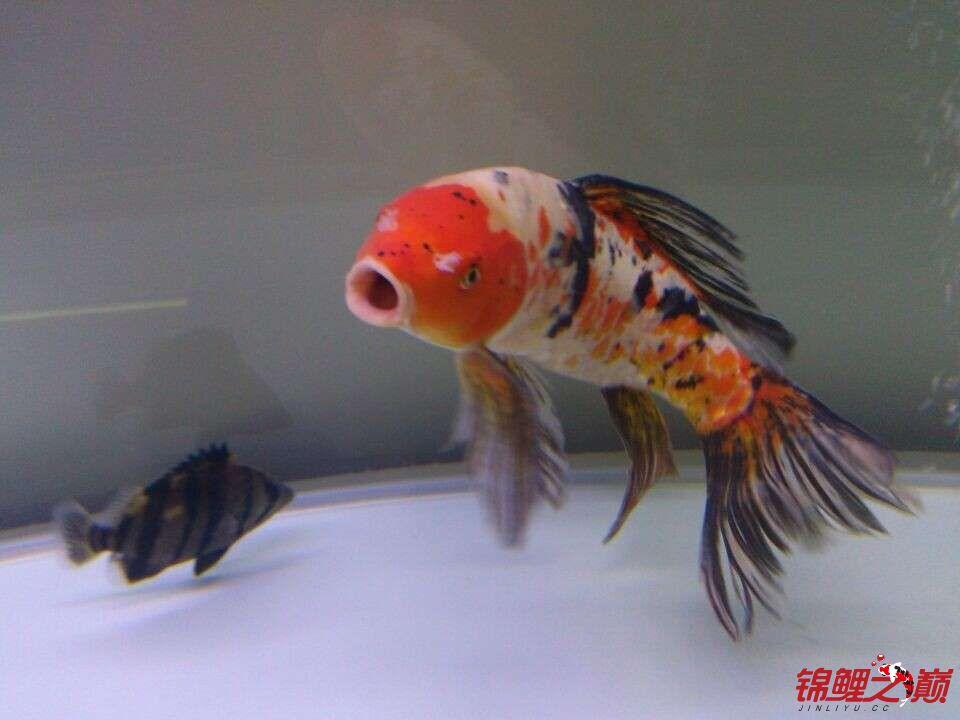 新手问鲤鱼品种 西安观赏鱼信息 西安博特第5张