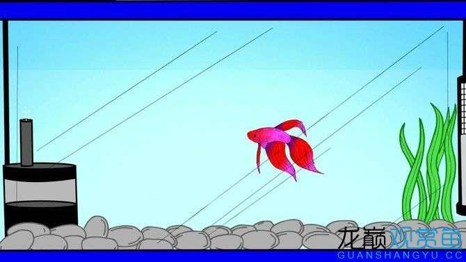 【西安黄金巴西亚鱼】8个方法让你养好泰国斗鱼 西安观赏鱼信息 西安博特第5张