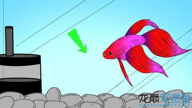 【西安黄金巴西亚鱼】8个方法让你养好泰国斗鱼 西安观赏鱼信息 西安博特第6张