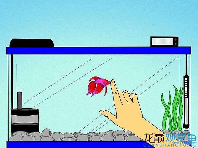 【西安黄金巴西亚鱼】8个方法让你养好泰国斗鱼 西安观赏鱼信息 西安博特第9张