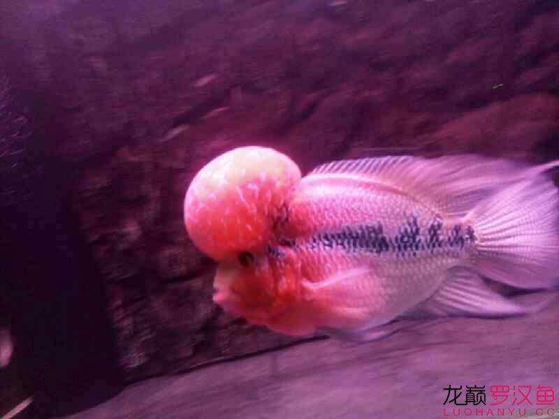 养了八个月了拿出来晒晒 西安观赏鱼信息 西安博特第2张