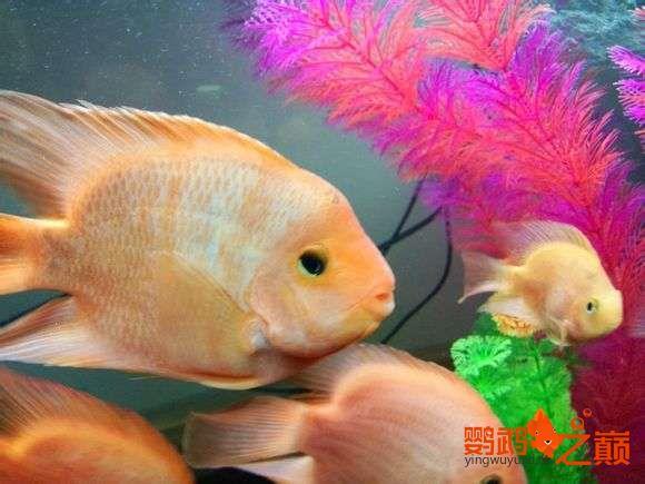 小黄鹦鹉起头了 西安观赏鱼信息 西安博特第1张