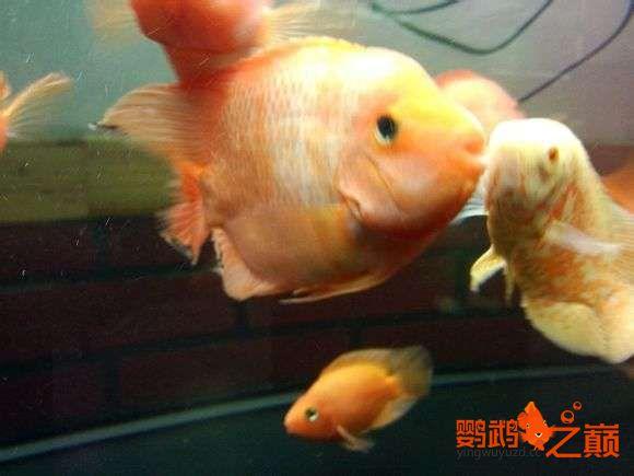 小黄鹦鹉起头了 西安观赏鱼信息 西安博特第2张