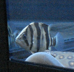 2只小虎快2周了就是不吃食 西安龙鱼论坛 西安博特第1张