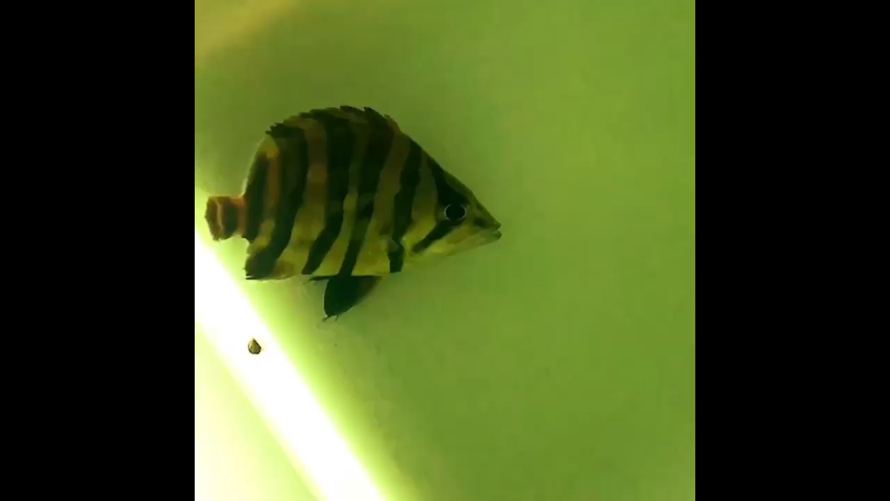 还没喂饱这个体型 西安龙鱼论坛 西安博特第1张