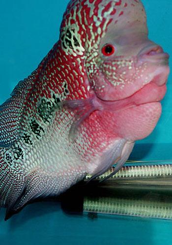 【西安有什么水族馆】私藏略高小4纹虎15CM 西安龙鱼论坛 西安博特第3张