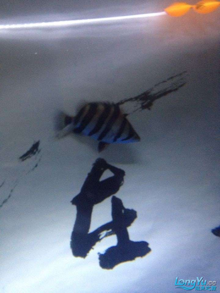 【西安有什么水族馆】私藏略高小4纹虎15CM 西安龙鱼论坛 西安博特第2张