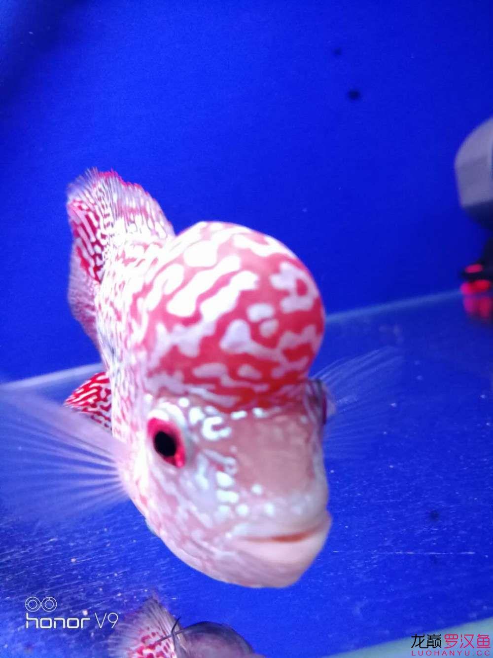 发力中罗汉鱼 西安观赏鱼信息 西安博特第1张
