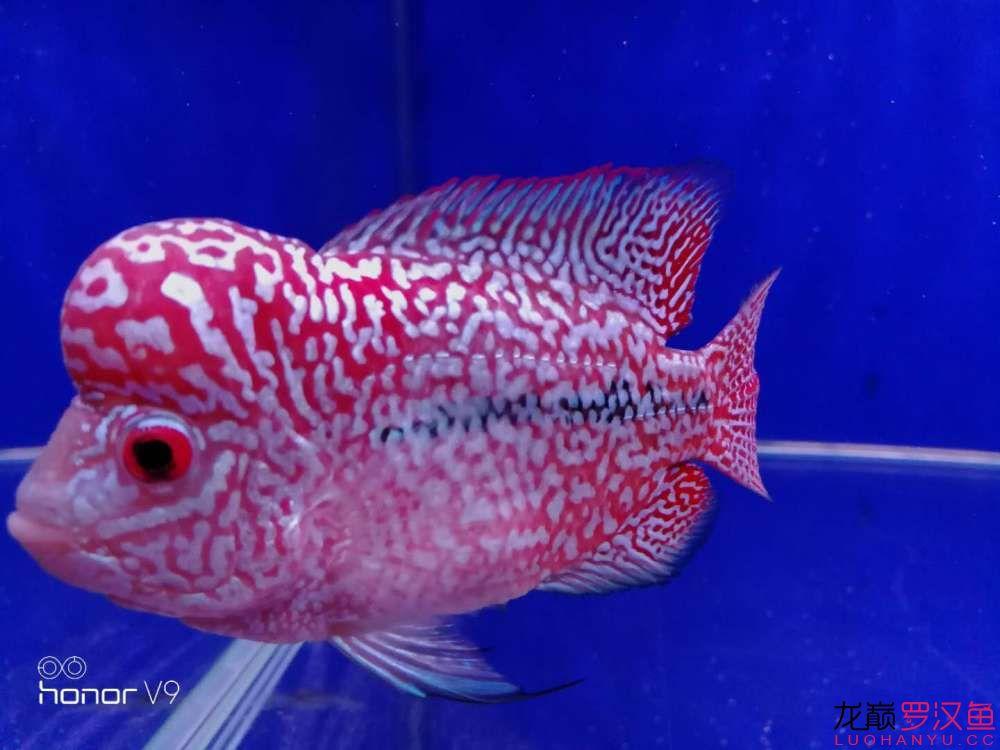 发力中罗汉鱼 西安观赏鱼信息 西安博特第2张