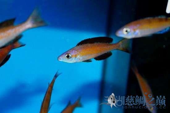 三湖慈鲷剑沙的魔力 西安龙鱼论坛 西安博特第2张