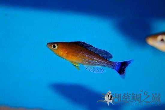 三湖慈鲷剑沙的魔力 西安龙鱼论坛 西安博特第3张
