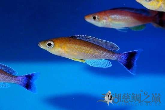 三湖慈鲷剑沙的魔力 西安龙鱼论坛 西安博特第4张